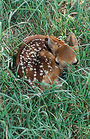 White-tailed Deer, Odocoileus virginianus, fawn in grass camouflaged, Welder Wildlife Refuge, Sinton, Texas, USA, June 2005