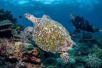 Hawksbill Turtle, Eretmochelys imbricata, and diver, Flinders Reef, Moreton Bay Marine Park, Brisbane, Queensland, Australia, Pacific Ocean(MR)