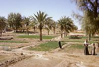Kuwait October 1966.  Jahra Oasis Date Plantation.