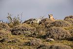 Mountain Lion (Puma concolor) six month old cub, Torres del Paine National Park, Patagonia, Chile