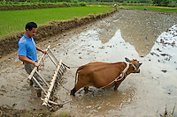Peasant harvesting rice with a buffalo, Yangshuo, Guangxi, China.