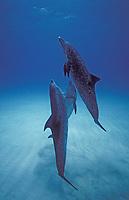 Three Atlantic spotted dolphins cruising the Bahamas banks. Stenella frontalis, Bahamas, Caribbean, Atlantic
