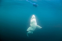 great white shark, Carcharodon carcharias, investigating seal decoy, Seal Island, False Bay, South Africa