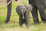 An African elephant calf stands among the tall legs of the rest of the herd in Amboseli National Park, Kenya.