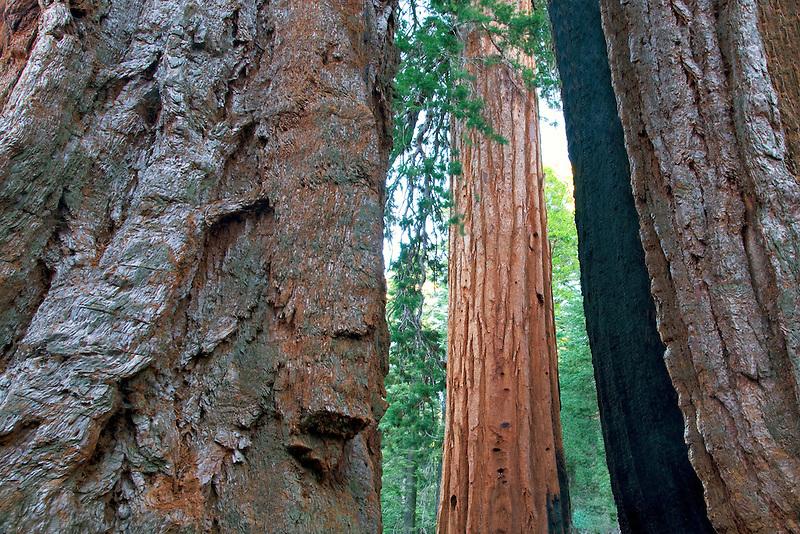 Clothspin Tree. Giant Sequoia Redwood. Mariposa Grove. Yosemite National Park, California