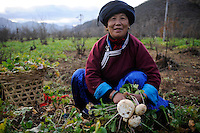CHINA Yunnan Lugu Lake , ethnic minority Mosuo who are buddhist and women have a matriarch, woman harvest reddish / CHINA Provinz Yunnan , ethnische Minderheit Mosuo am Lugu See , die Mosuo sind Buddhisten und Mosuo Frauen ueben ein Matriarchat aus, Frau erntet Rettich