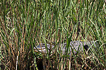 Brazoria County, Damon, Texas; a large American Alligator hiding in the reeds and warming up in the sun at the edge of the slough