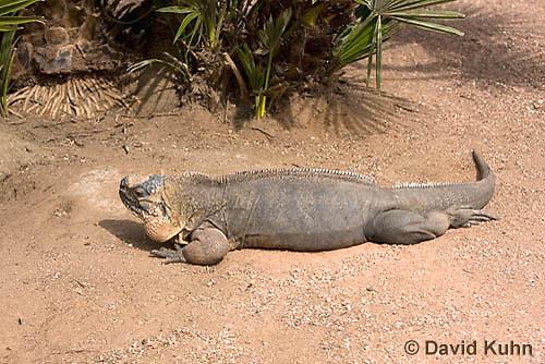 0629-1113  Exuma Island Iguana (Northern Bahamian Rock Iguana), Bahamas, Cyclura cychlura figginsi  © David Kuhn/Dwight Kuhn Photography