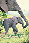 An African elephant cow nuzzles her calf. An elephant's trunk is a remarkable thing containing about 100,000 muscles and acting as a fifth limb, sound amplifier, and tactile sensor.
