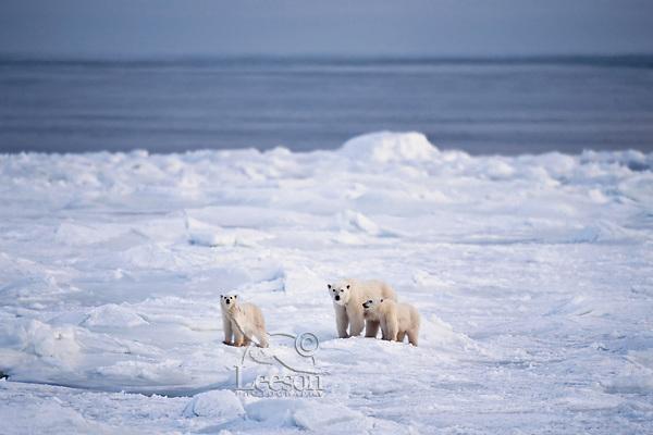 Polar bear (Ursus maritimus) female (sow) with cubs along shore of Hudson Bay, Caanada.  November.