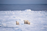 Polar bear (Ursus maritimus) female (sow) with cubs along shore of Hudson Bay, Caanada.  November.
