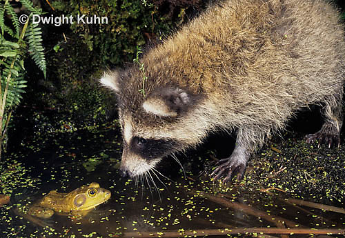 MA23-009x  Raccoon - young animal attempting to catch frog - Procyon lotor
