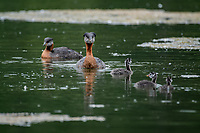A pair of red-necked grebe and thier chicks in Anchorage, Alaska.