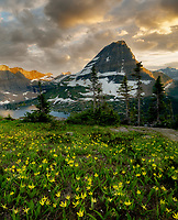 Avalanche lilies and Bearhat Mountain. Overlook at Glacier National Park, Montana Glacier National Park, Montana