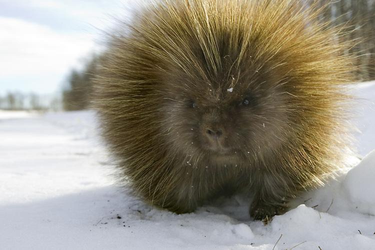 Porcupine walking alongside a road