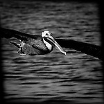 Pelican on a flyby, Bolsa Chica, CA.