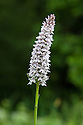 Common spotted orchid (Dactylorhiza fuchsii), early June.