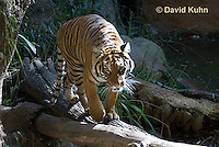0328-1006  Malayan Tiger, Panthera tigris malayensis  © David Kuhn/Dwight Kuhn Photography.