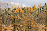 first snow and tamaracks, Baraga County