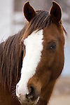 horse looking into camera. brown horse with white blaze
