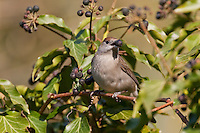 Mönchsgrasmücke, Mönchs-Grasmücke, Mönchs - Grasmücke, Weibchen, frisst an reifen Efeufrüchten, Efeu im Frühjahr, Sylvia atricapilla, Blackcap, Fauvette a tete noir