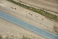 Cows walking alongside the road
