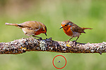 Pictured:  Sequence 6 of 9:  The pair watch on as the fly (circled) falls from the branch<br /> <br /> A courting ritual between two robins is cut short - after the female drops an insect the male was trying to feed her.  The female stands ready to receive the fly in her open beak but after it is dropped both glance disappointedly at the floor, and the male flies down in an attempt to retrieve it.<br /> <br /> This exchange of food is an integral part of the courtship between robins and was captured by professional photographer Ivor Ottley in Suffolk.  SEE OUR COPY FOR DETAILS.<br /> <br /> Please byline: Ivor Ottley/Solent News<br /> <br /> © Ivor Ottley/Solent News & Photo Agency<br /> UK +44 (0) 2380 458800