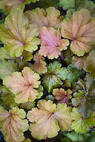 Heuchera Carnival Coffee Bean green tan orange, shade garden foliage plant