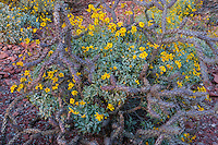 Brittlebush or brittlebrush (Encelia farinosa) flowers growing by staghorn cholla.  Arizona.  Feb-March.  Common desert wildflower.