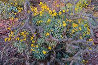 Brittlebush or brittlebrush (Encelia farinosa) flowers growing by staghorn cholla.  Arizona.  Feb-March.  Common desert wildflower.