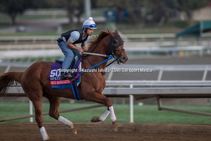 OCT 26 2014:Mico Margarita, trained by Steve Asmussen, exercises in preparation for the Breeders' Cup Xpressbet Sprint at Santa Anita Race Course in Arcadia, California on October 26, 2014. Kazushi Ishida/ESW/CSM