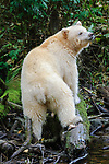 Adult spirit or Kermode bear (Ursus americanus kermodei) - white morph of the black bear- by stream fishing for salmon. Gribbell Island, Great Bear Rainforest, British Columbia, Canada, October.