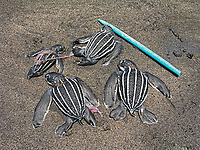 dead leatherback sea turtle hatchlings, Dermochelys coriacea, Dominica, Caribbean, Atlantic Ocean