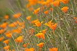 California Poppies, Ludlow, Washington.