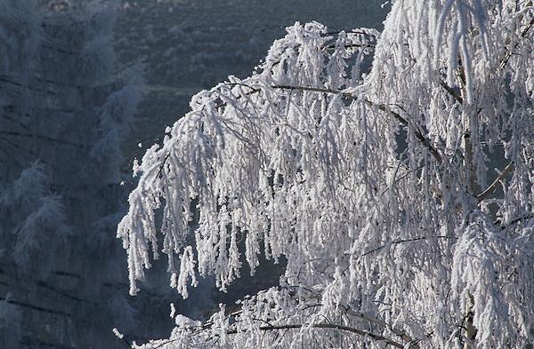 Frost on Birch tree, Finstersee, Zug, Switzerland