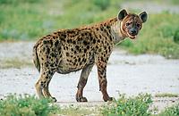 Spotted Hyena, Laughing Hyena or Cape Wolf (Crocuta crocuta)