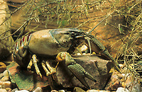 Kamberkrebs, Kamber-Krebs, Camberkrebs, Amerikanischer Flusskrebs, Orconectes limosus, Cambarus affinis, Eastern Crayfish, Or Delcore Crayfish, Spinycheek Crayfish, Spiny-cheek Crayfish, American crayfish