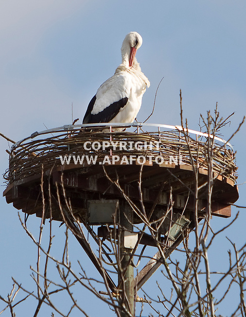 Randwijk, 160211<br /> Na de overwintering in Afrika is deze ooievaar weer terug op zijn nest bij de familie Goetheer in Randwijk. Nu is het wachten op een partner.<br /> Foto: Sjef Prins - APA Foto<br /> vrije aanlevering