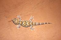 Bibron's Gecko in Namaqualand, Namibia