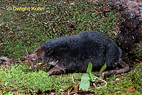 MB01-008z  Star-nosed Mole - adult searching for food - Condylura cristata