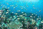 Triton Bay, West Papua, Indonesia; a large school of Philippines Chromis (Chromis scotochiloptera) fish swimming over the coral reef