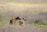 Two Spotted Hyenas, Crocuta crocuta, in Ngorongoro Crater, Ngorongoro Conservation Area, Tanzania