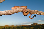 Black-headed python (Aspidites melanocephalus) perched on a tree branch overlooking  the Australian outback