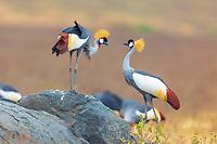 Ngorongoro Crater Conservation Area wildlife, in Tanzania, Africa