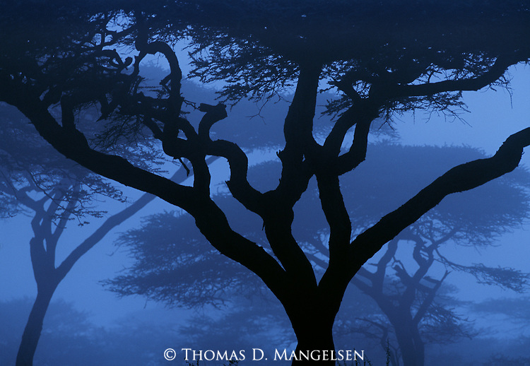 East Africa's most identifiable tree, the acacia, ghosts into sight on the edge of the first light of the day in Serengeti National Park, Tanzania.