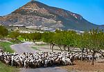 ESP, Spanien, Andalusien, Schafherde, Olivenbaeume, Landstrasse | ESP, Spain, Andalusia, flock of sheep