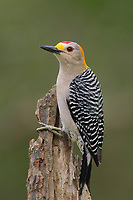 Adult male Golden-fronted Woodpecker (Melanerpes aurifrons) of the subspecies M. a. aurifrons. Starr County, Texas. March.