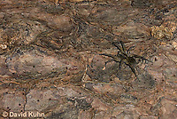 1006-0910  Wolf Spider Camouflaged on Bark of Wood, Hogna spp. [formerly Lycosa spp.]  © David Kuhn/Dwight Kuhn Photography