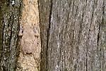 Foam nest frog, Kruger National Park, South Africa