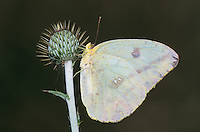 Large Orange Sulphur, Phoebis agarithe, female on thistle, Starr County, Rio Grande Valley, Texas, USA, May 2002
